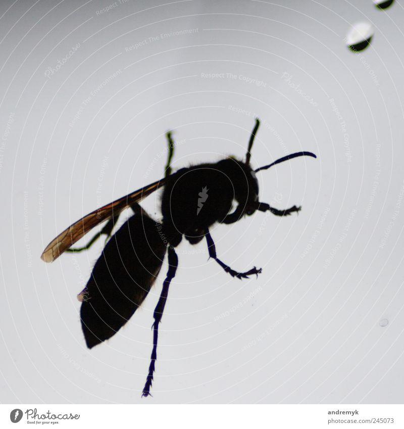 Hornisse ... Hornissen Tier Insekt Gegenlicht Nahaufnahme Fenster schwarz grau Freisteller Textfreiraum oben Schatten Silhouette