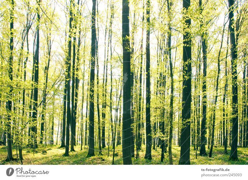 Försters Freude Umwelt Natur Landschaft Pflanze Urelemente Erde Frühling Schönes Wetter Baum Gras Wald Blühend leuchten Wachstum schön grün Lebensfreude