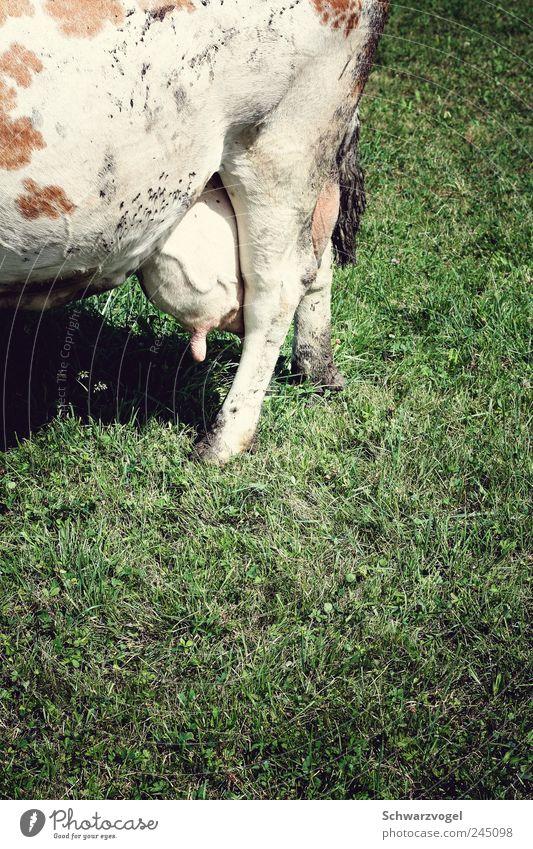 Muuhrotik Natur Tier Wiese Ernährung Kuh Nutztier Milcherzeugnisse Euter
