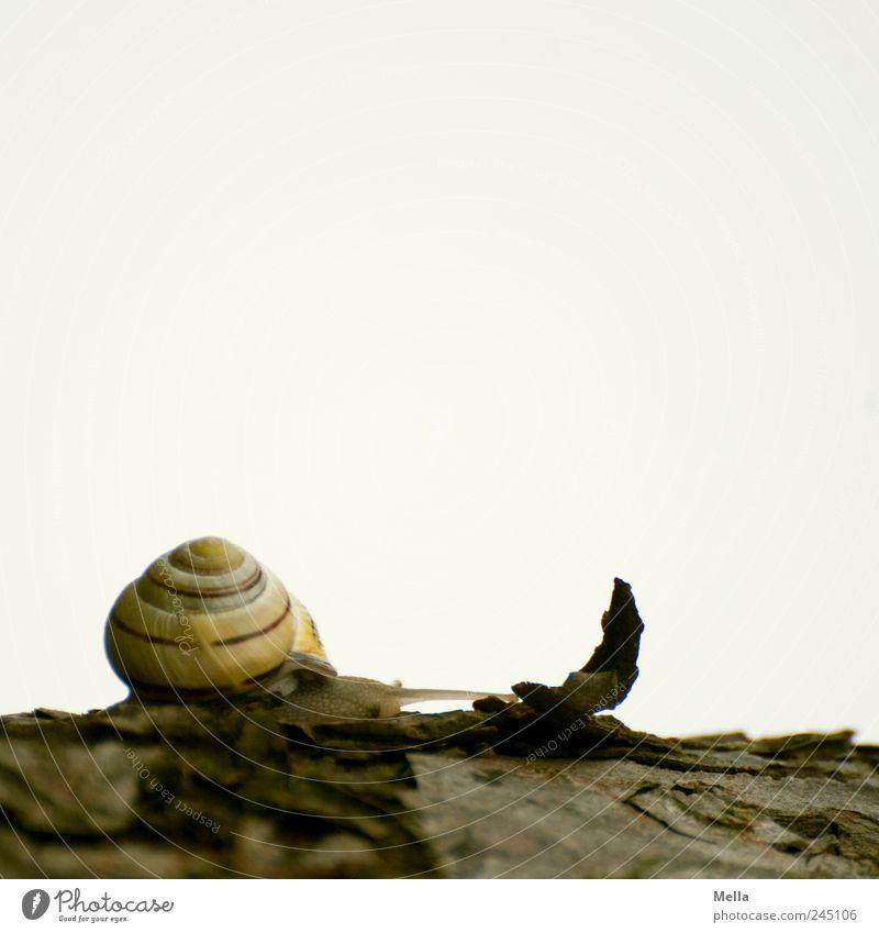 Immer weiter Natur Tier Umwelt klein Zeit natürlich niedlich Schnecke krabbeln Baumrinde langsam Schneckenhaus