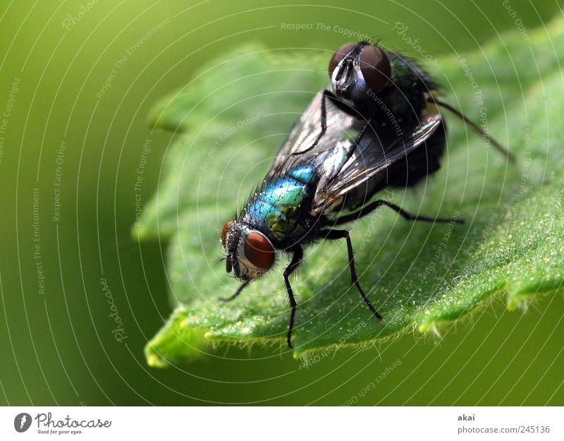 Sex Pflanze Tier Grünpflanze Fliege 2 blau grün schwarz Zufriedenheit Zusammenhalt Farbfoto Makroaufnahme Tag Schwache Tiefenschärfe Zentralperspektive