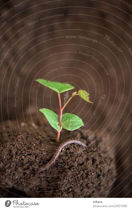 Neues Leben - junge Pflanze und Wurm Gemüse Kaffee Geld Garten Gartenarbeit Kapitalwirtschaft Business Umwelt Natur Erde Frühling Baum Blatt Wachstum frisch