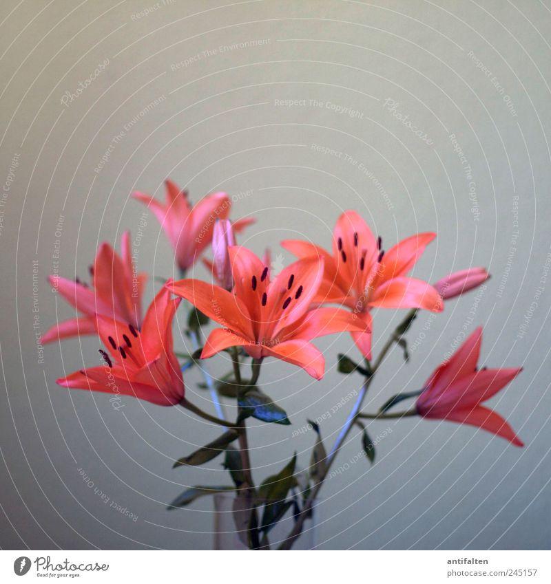 Lilien Pflanze Blume Blatt Blüte Liliengewächse Lilienblüte Vase Blumenstrauß Blumenvase Glas ästhetisch schön grau rot orange Aprikot Blütenstempel Pollen