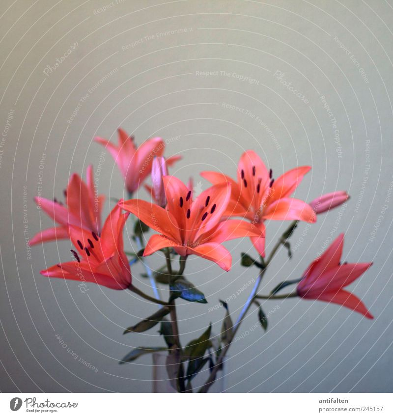 Lilien schön Pflanze rot Blume Blatt grau Blüte orange Glas ästhetisch Dekoration & Verzierung Blumenstrauß Vase Pollen Blütenstempel
