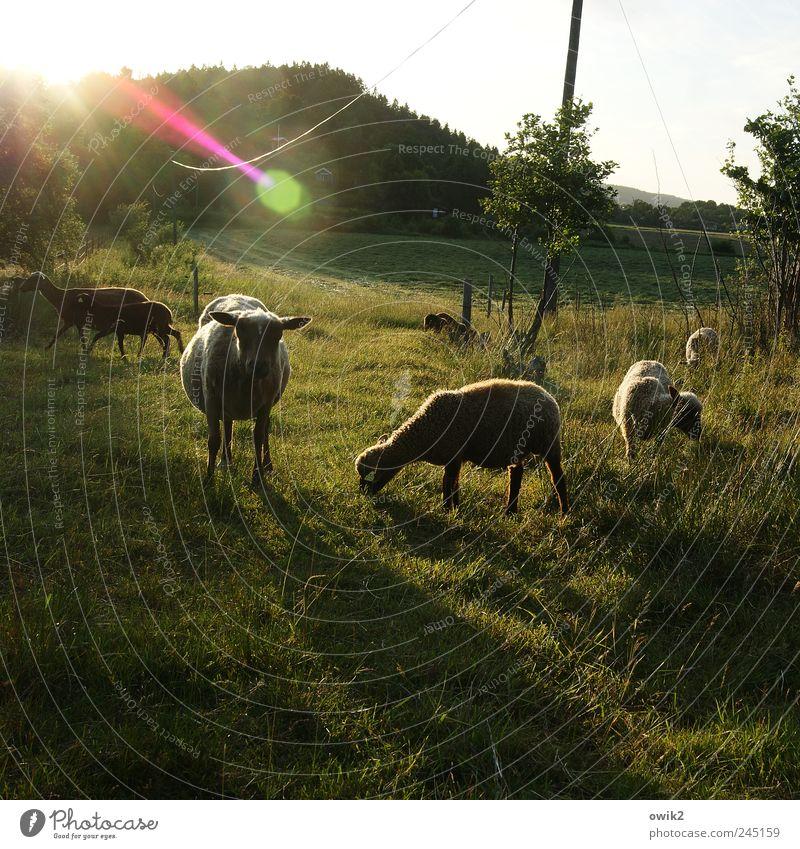 Schaflied Energiewirtschaft Strommast Kabel Umwelt Natur Landschaft Pflanze Tier Himmel Klima Schönes Wetter Baum Gras Sträucher Wiese Hügel Tiergruppe