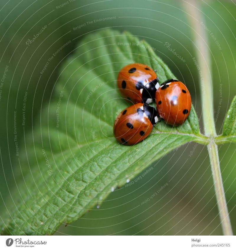 drei Marienkäfer zusammengekuschelt auf einem Blatt Umwelt Tier Sommer Schönes Wetter Grünpflanze Wildpflanze Käfer 3 Tiergruppe krabbeln sitzen ästhetisch