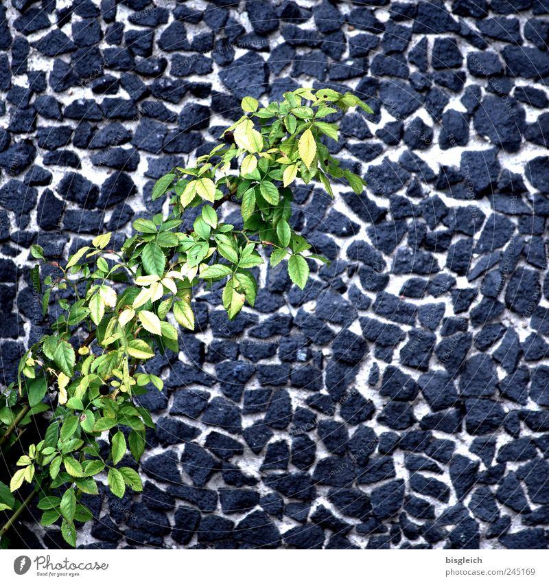 Mauerblättchen grün Pflanze Blatt grau Stein Mauerpflanze Grünpflanze Zweige u. Äste Steinmauer
