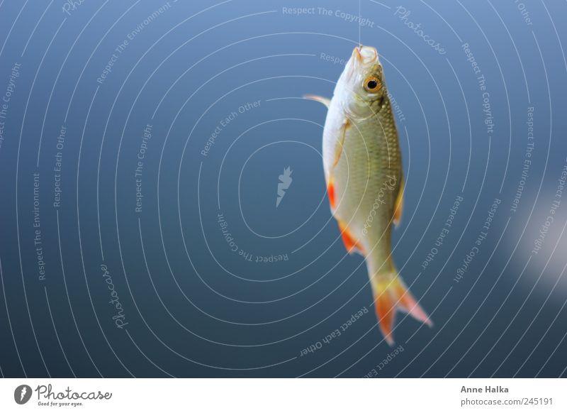 Rotfeder am Haken blau rot Freiheit See glänzend Wellen Erfolg Schnur Seeufer Fluss Fisch Im Wasser treiben fangen Angeln Bach silber