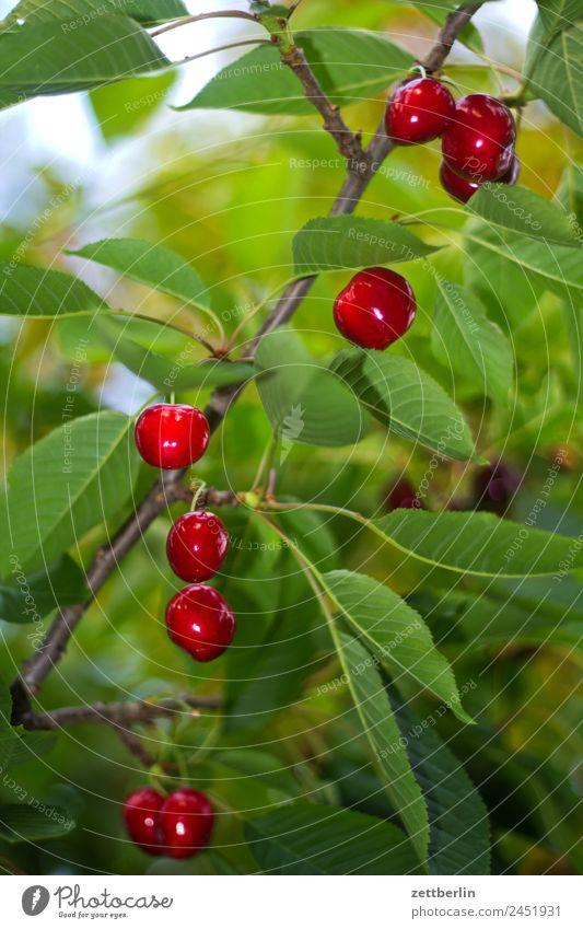 Kirschen (kurz vor der Ernte) Ast Baum Baumkrone Blatt Garten Schrebergarten Kleingartenkolonie Natur Frucht Obstgarten Pflanze Sommer Baumstamm Sträucher