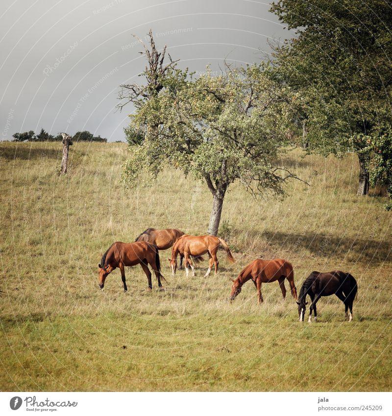 pferde Natur Baum blau Pflanze Sommer Tier Wiese Gras grau Landschaft Umwelt Erde braun Feld Pferd natürlich