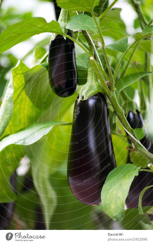 Auberginen Natur Sommer Pflanze schön Wasser grün Sonne Landschaft Wärme Umwelt natürlich Lebensmittel Ernährung Wetter Wachstum Schönes Wetter