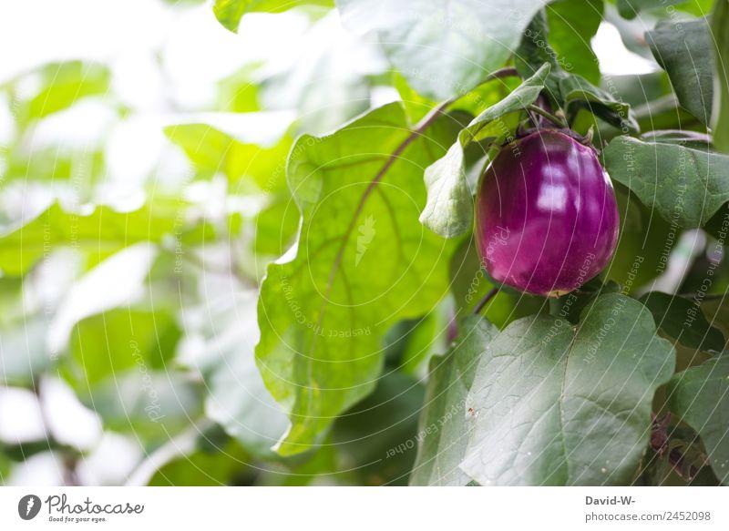 Aubergine II Natur Sommer Pflanze Gesundheit Umwelt Lebensmittel Garten Ernährung Wachstum Erfolg Schönes Wetter Klima Ziel lecker Gemüse violett