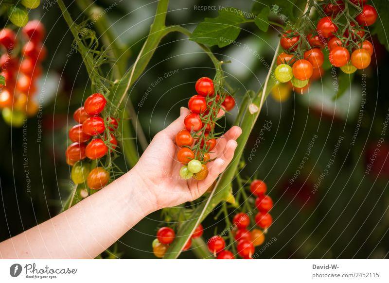Tomaten ernten Mensch Natur Sommer Landschaft Hand rot Umwelt Lebensmittel Ernährung Wetter Schönes Wetter beobachten Klima berühren lecker Gemüse
