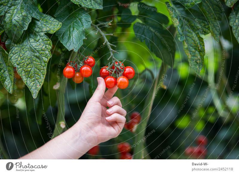 Frische Tomaten Lebensmittel Gemüse Ernährung Bioprodukte Vegetarische Ernährung Diät Mensch feminin Junge Frau Jugendliche Erwachsene Kindheit Hand Finger 1