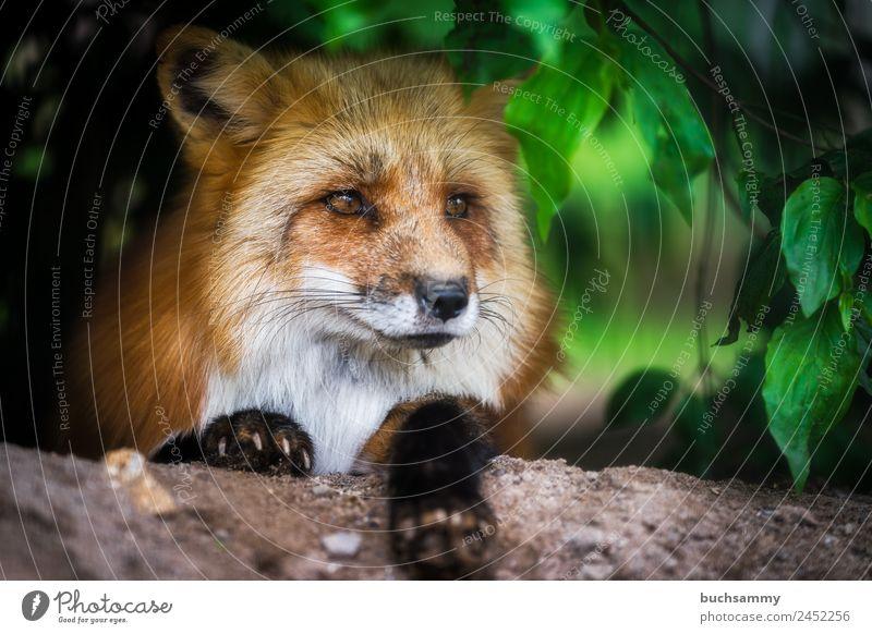 Rotfuchs im Gebüsch Zoo Natur Sträucher Tier Wildtier Fuchs 1 liegen Blick braun grün rot Farbfoto Außenaufnahme Menschenleer Textfreiraum rechts Tag