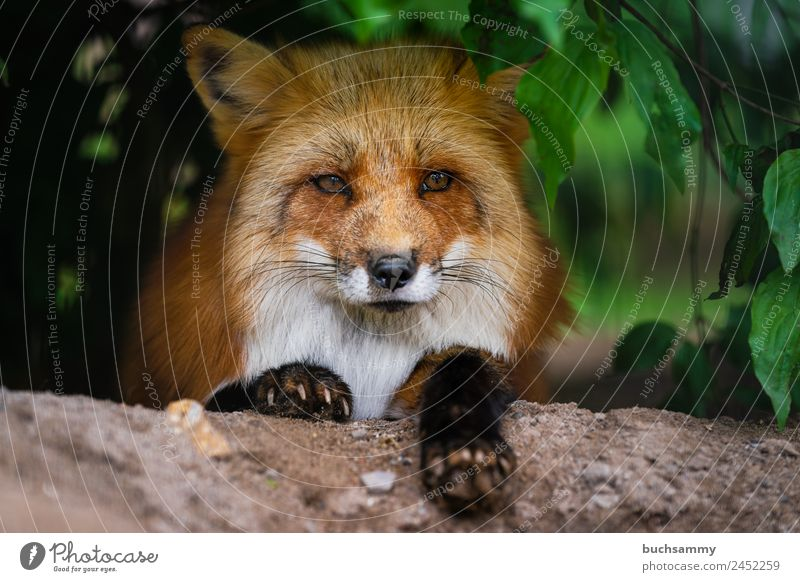 Rotfuchs Tier Wildtier Tiergesicht Fell Krallen Pfote Fuchs 1 klug rot Lebewesen Neugier Sträucher Säugetier Blick in die Kamera Natur freilebend liegen