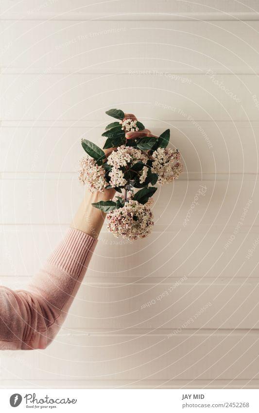 Hände halten einen kleinen Blumenstrauß aus rosa Blumen. Hand Halt Hintergrund weiß Tag Natur Beautyfotografie Frau geblümt Geschenk Frühling Zeit Blüte grün