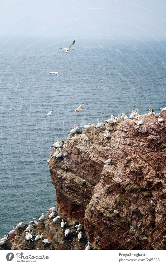 Gleich & gleich gesinnt sich gern Wasser Himmel Horizont Sommer Felsen Wellen Nordsee Meer Tier Tiergruppe fliegen Fressen Häusliches Leben Zusammensein