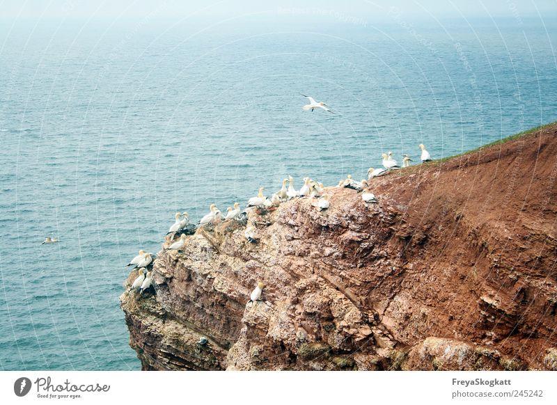 Kleine Möwe, fliegt nach Helgoland Natur Wasser Sommer Felsen Wellen Nordsee Tier Tiergruppe fliegen Ferne frei Zusammensein Unendlichkeit hoch blau braun weiß