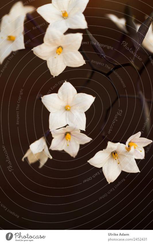 Nachtschatten - Jasmin (Solanum laxum) Natur Sommer Pflanze weiß Blume Blatt Winter dunkel schwarz Herbst Blüte Frühling Traurigkeit Garten Tod Blühend