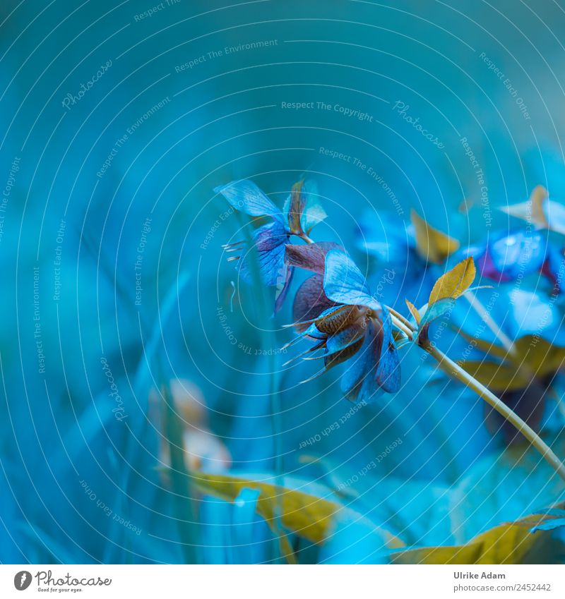 Christrosen - Traum in Blau elegant Stil Design schön Wellness Leben harmonisch Erholung Dekoration & Verzierung Tapete Postkarte Feste & Feiern Valentinstag