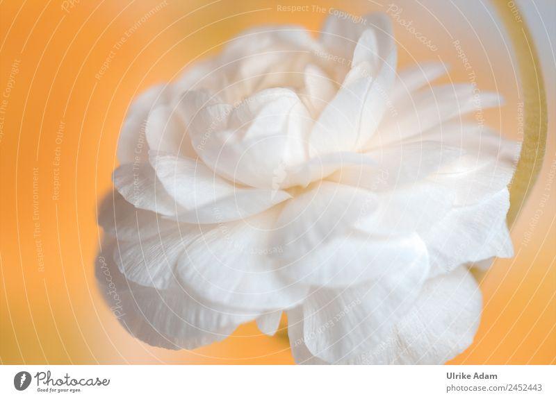 Weiße Ranunkel Natur Sommer Pflanze weiß Blume Erholung ruhig Frühling Liebe Blüte orange Design Zufriedenheit Dekoration & Verzierung ästhetisch Idylle