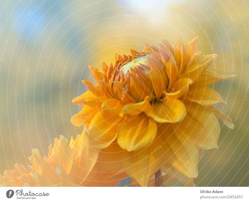 Blütenzauber - Dahlie Natur Sommer Pflanze Blume Erholung ruhig Leben Herbst Garten Feste & Feiern orange Design Zufriedenheit leuchten Dekoration & Verzierung