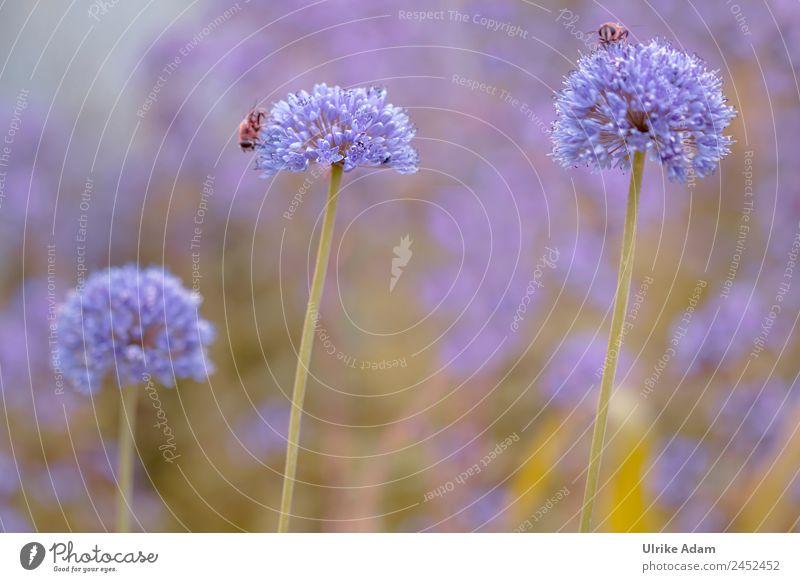 Zierlauch ( Allium ) - Natur Pflanze Tier Frühling Sommer Blume Blüte Porree Kugellauch Garten Park Wildtier Biene Insekt 2 Blühend frisch Gesundheit Wärme wild