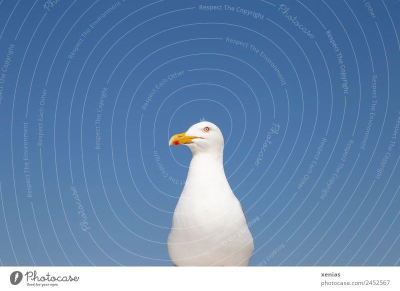 Silbermöwe posiert vor blauem Himmel Möwe Wolkenloser Himmel Schönes Wetter Küste Nordsee Ostsee Meer Tier Wildtier Vogel 1 beobachten orange rot weiß Schnabel