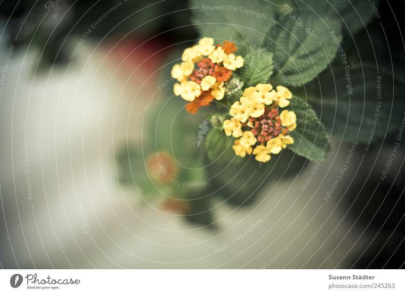 2 gelb Blüte Garten Wohnung Dekoration & Verzierung Blühend exotisch Minze Minzeblatt