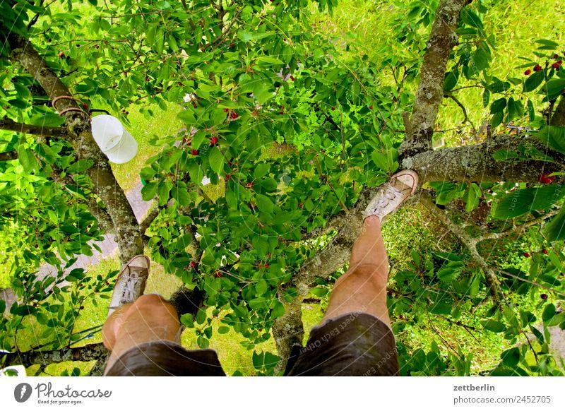 Kirschernte Ast Baum Baumkrone Blatt Ernte Garten Schrebergarten Kleingartenkolonie Natur Frucht Obstgarten Pflanze Sommer Baumstamm Sträucher Textfreiraum