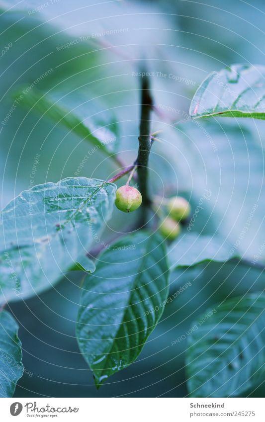 Gartenwelt Natur grün Pflanze Blatt Umwelt Lebensmittel Park Regen Frucht nass Wachstum ästhetisch Sträucher Tropfen Stengel