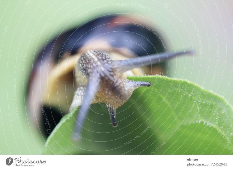 Gartenschnecke XV Umwelt Natur Blatt Wildtier Schnecke Stielauge Fühler Schneckenhaus Bewegung entdecken Blick schleimig Willensstärke Gelassenheit geduldig