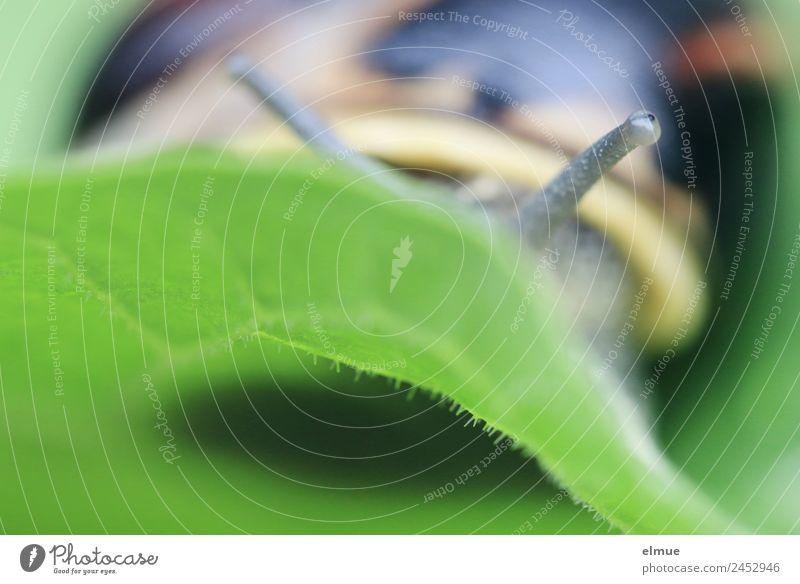 Gartenschnecke XIII Blatt Wildtier Schnecke Stielauge Schneckenhaus Weichtier Schleimer Spirale Bewegung Blick ästhetisch gruselig schleimig Gelassenheit