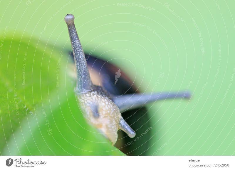 Gartenschnecke XI Blatt Wildtier Schnecke Weichtier Stielauge Fühler Schneckenhaus Schleimer beobachten Blick nah schleimig Willensstärke Tatkraft Gelassenheit