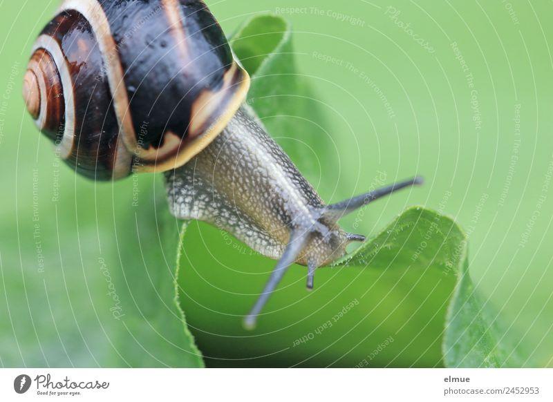 Gartenschnecke X Blatt Wildtier Schnecke Fühler Stielauge Schneckenhaus Weichtier Spirale Drehgewinde Schleimer Bergkamm Risiko einzigartig schleimig Optimismus