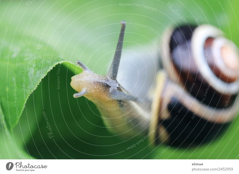 Gartenschnecke VII Natur Blatt Wildtier Schnecke Schneckenhaus Fühler Weichtier Schleimer Drehgewinde kalkschale Spirale natürlich schleimig Willensstärke