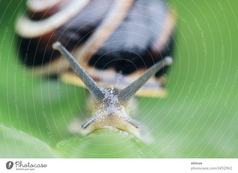Gartenschnecke VI Umwelt Natur Wildtier Schnecke Fühler Weichtier Schneckenhaus Spirale Schleimer Drehgewinde Stielauge schleimig Kraft Tatkraft Gelassenheit