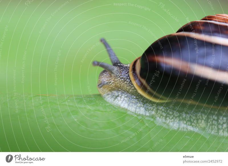 Gartenschnecke IV Blatt Wildtier Schnecke Schneckenhaus Weichtier Fühler Spirale Schnur Schleimer Kriecher Rückzug Auswandern Schraubengewinde klein schleimig