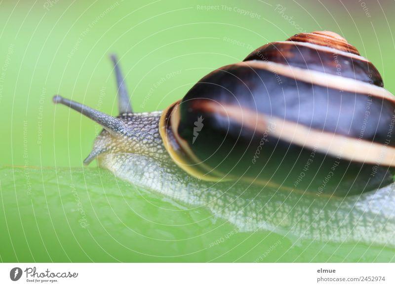 Gartenschnecke III Wildtier Schnecke Schneckenhaus Fühler Weichtier Spirale Schleimer Kriecher Schleimspur ausrutschen Drehgewinde Rückzug Auswandern schleimig
