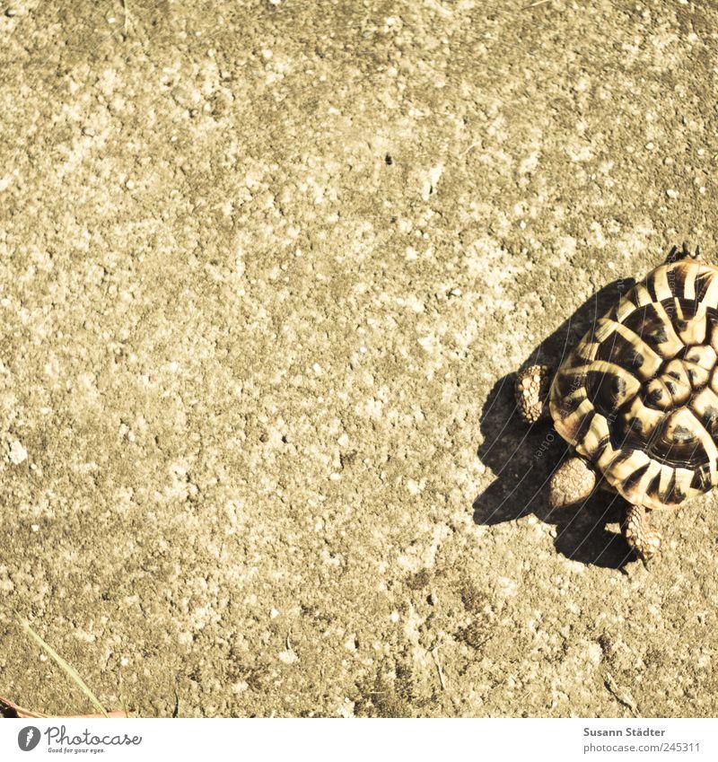 Rasenmäher Tier Haustier Jagd Schildkröte Schildkrötenpanzer Panzer laufen Krötenwanderung Betonboden Spaziergang gehen Gedeckte Farben Tag Licht Schatten