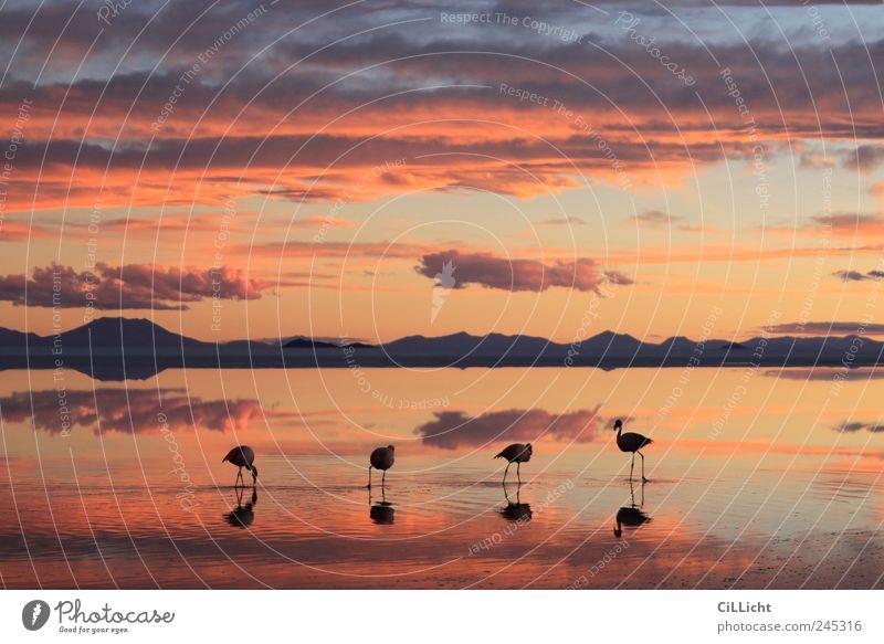 Flamingo Formation I Umwelt Natur Landschaft Wasser Himmel Wolken Sonnenaufgang Sonnenuntergang Seeufer Wüste Tier Wildtier 4 Tiergruppe ästhetisch authentisch