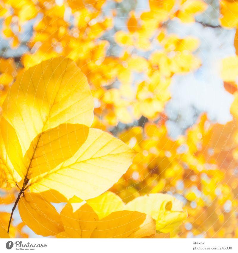 Blattgold Herbst Baum Wärme gelb Buche Farbfoto Außenaufnahme Nahaufnahme Menschenleer Freisteller Sonnenlicht
