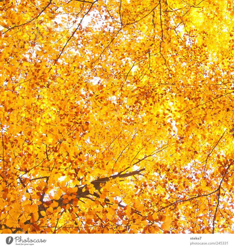 Blätterhimmel Herbst Baum Wald hoch Wärme gelb gold Buchenwald Farbfoto Außenaufnahme Menschenleer Sonnenlicht Froschperspektive