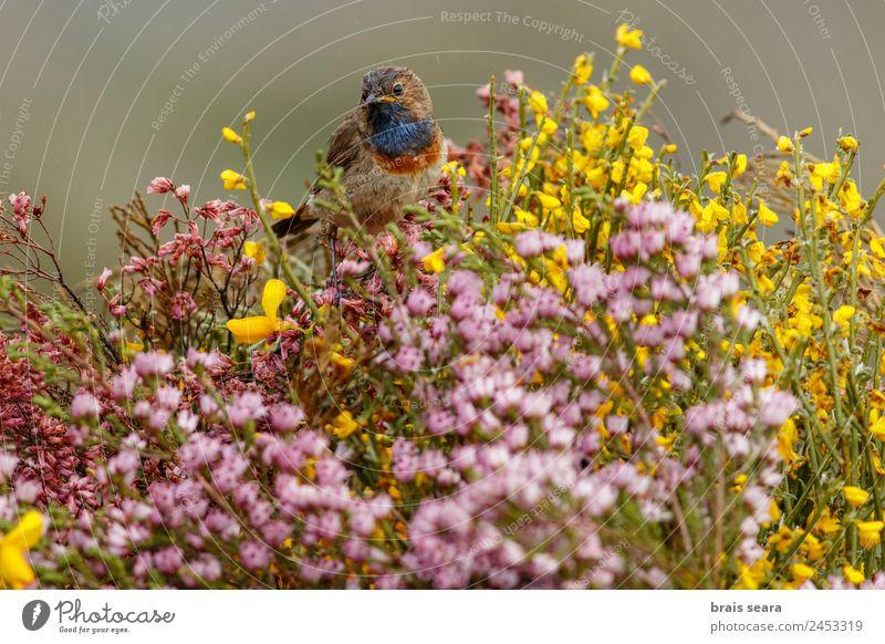 Blaukehlchen Safari Biologie Ornithologie maskulin Umwelt Natur Tier Erde Frühling Pflanze Blume Feld Wildtier Vogel 1 wild blau Tierliebe luscinia svecica
