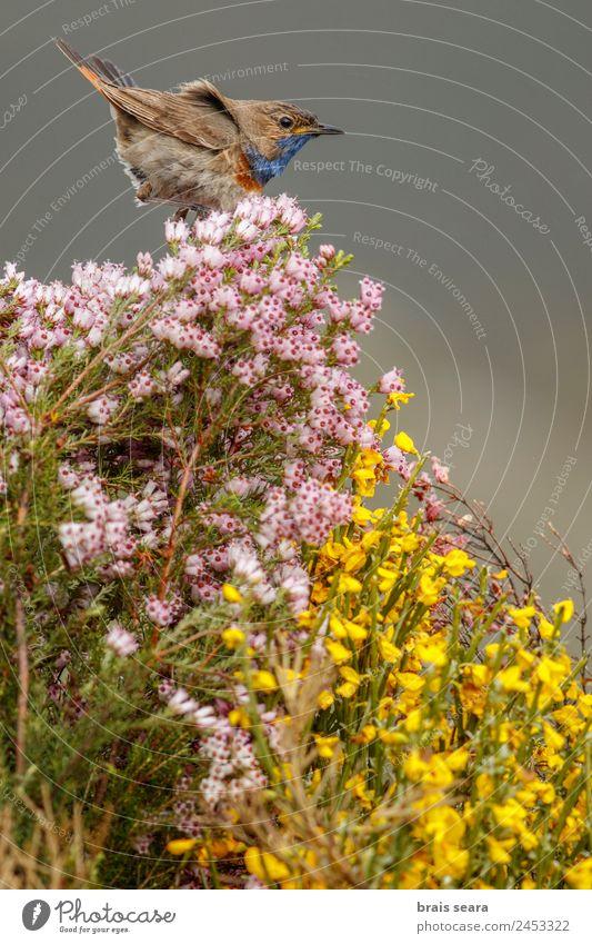 Blaukehlchen Tourismus Safari Biologie Ornithologie maskulin Umwelt Natur Tier Erde Pflanze Blume Wald Wildtier Vogel 1 blau Tierliebe luscinia svecica Tierwelt