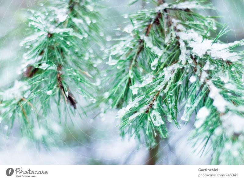 Enneigée Umwelt Natur Winter Eis Frost Schnee Baum kalt grün Zweige u. Äste Nadelbaum Winterwald Farbfoto Außenaufnahme Schwache Tiefenschärfe