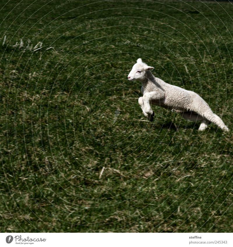 Gestatten, Philip Lamm Tier Wiese springen Schaf Nutztier Lamm Fleisch Lammfleisch Ernährung Lebensmittel