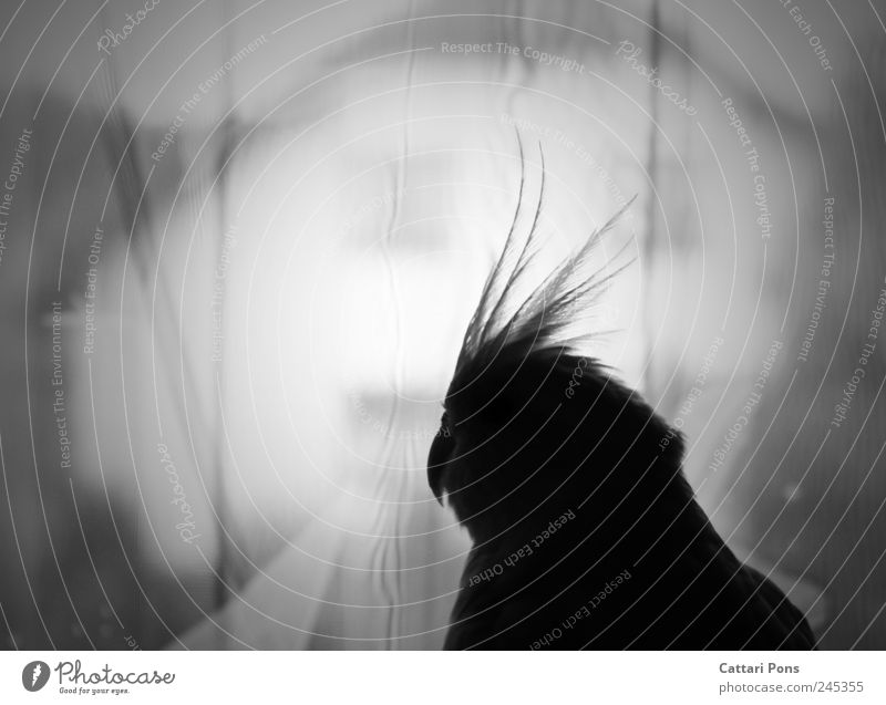 zwischen Welten Tier Einsamkeit Haus Ferne dunkel Traurigkeit Vogel natürlich Feder beobachten einzeln dünn nah Wachsamkeit Vorhang Haustier