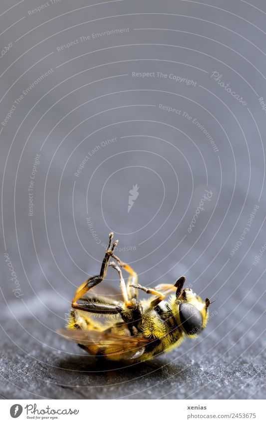 Schwebfliege, gelb-schwarz gestreift, tot Tier Tod grau liegen Fliege Totes Tier
